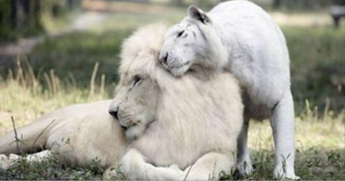 A White Lion And A White Tiger Had Babies And They Re Absolutely Breathtaking Ivory The Lion And Saraswati The Tiger Animal Odd Couple Guff