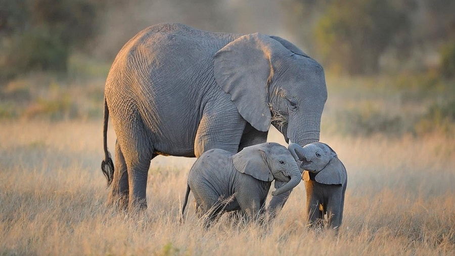 This Baby Elephant Was Attacked By A Crocodile And Then Mom Came To The Rescue Elephants Have Strong Bonds With Their Mothers Guff