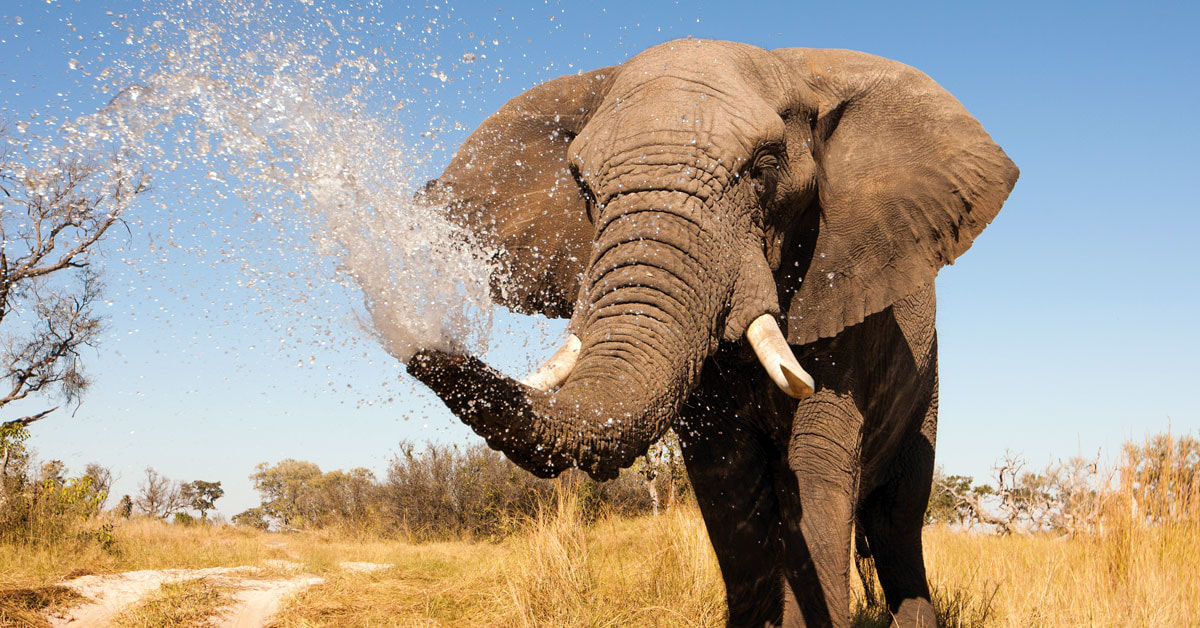 The Troubling Reason Elephants Are Being Born Without Their Tusks