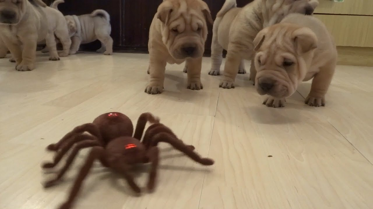 Adorable Puppies Defeat A Robot Spider