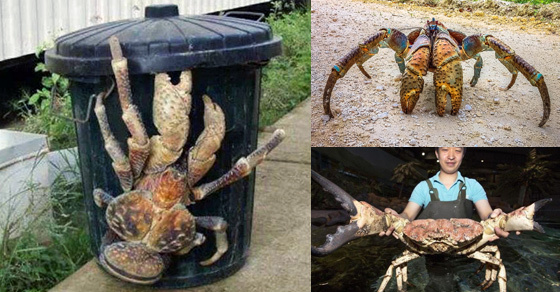 Huntsman Spider Size Coconut Crabs Will Cla...