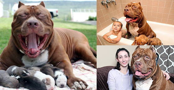 The World S Largest Pit Bull Fathered The World S Cutest
