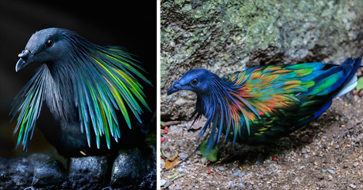 This Is The Closest Living Relative To The Extinct Dodo Bird, And It's Absolutely Beautiful